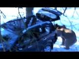 Медведь угоняет машину